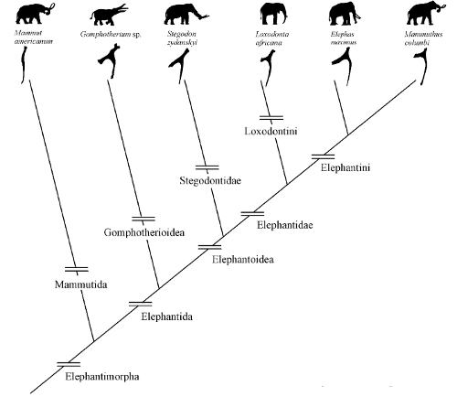 elephant_phylogeny_based_on_hyoid