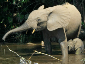 Forest_Elephant_Loxodontacyclotis