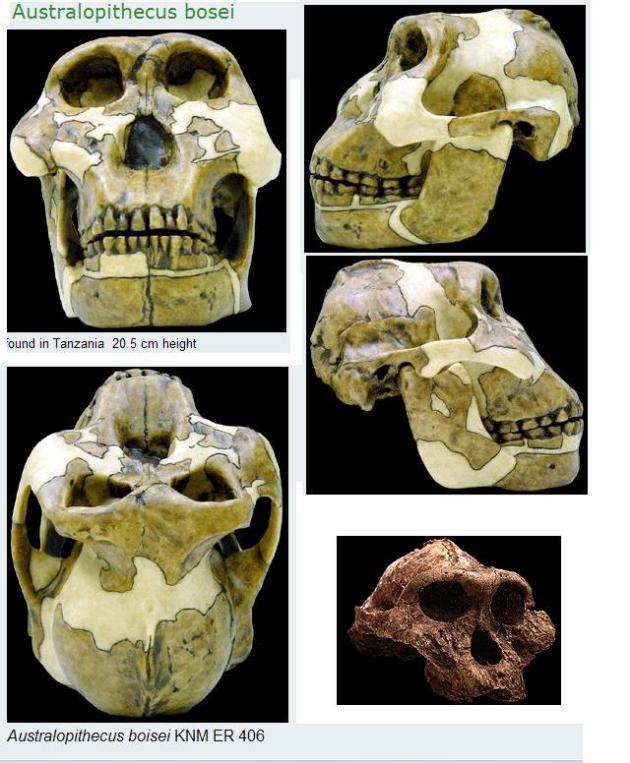 a.Australopithecus  Bosei