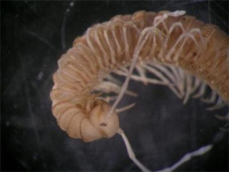 a Vietnamese cave centipede