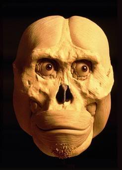 afarensis head reconstruction 1a
