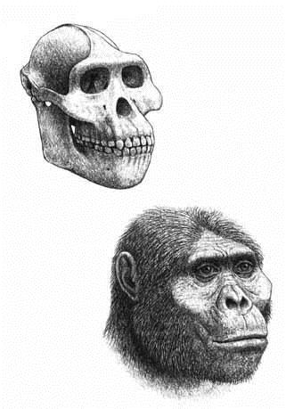 afarensis skull & reconstruction