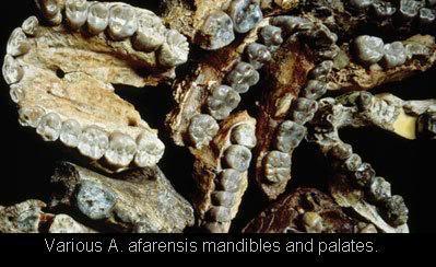 afarensis   various skull fragments