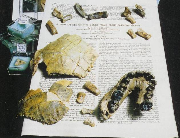 ANTH 395 Homo habilis remains from Olduvai from Price and Feinman 2003 p 61 (1)