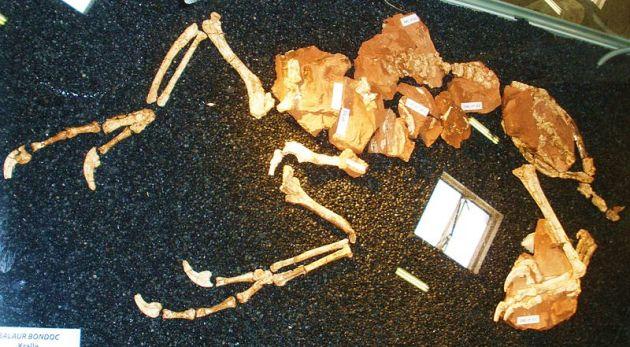 Balaur_bondoc  holotype