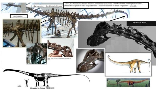 Barosaurus  Gordo