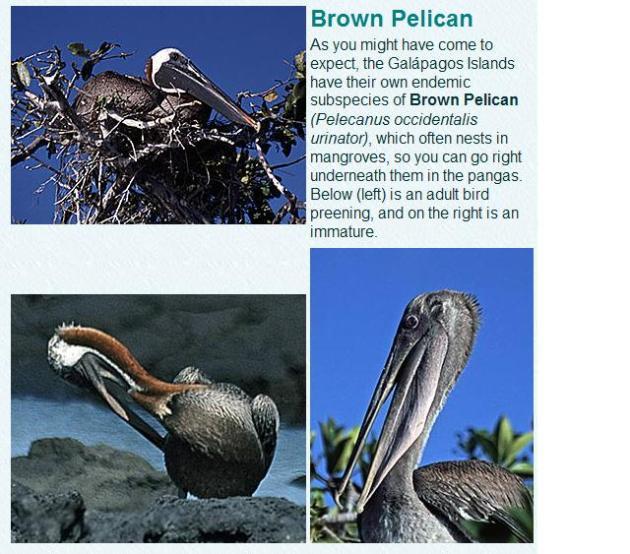Bruine-Galapagos-pelikaan