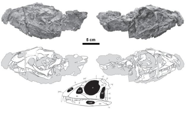 daemonosaurus-skull  and cercical vertebrae