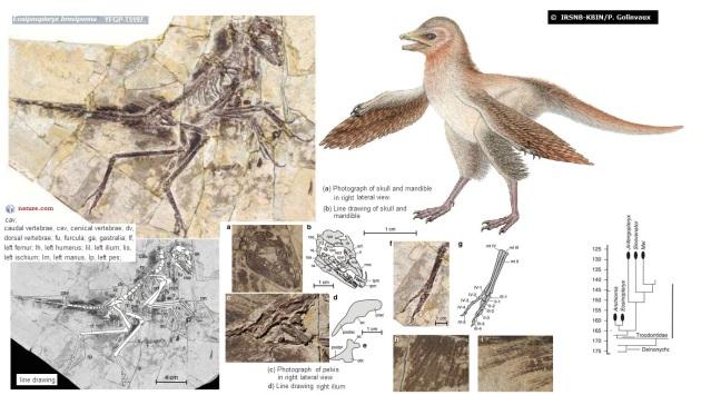 Eosinopteryx brevipenna  1