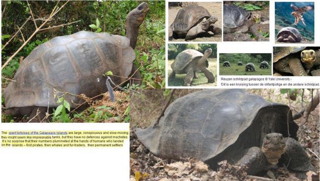 Galapagosschildpad-2
