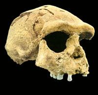 Homo-erectus-Sangiran17-200