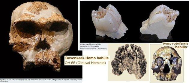 Homo_habilis 0