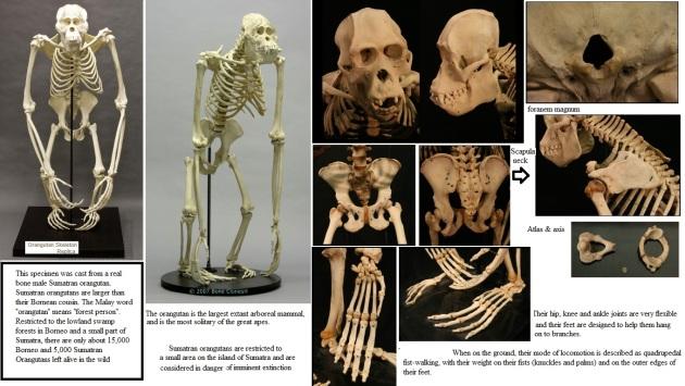 orang skeleton