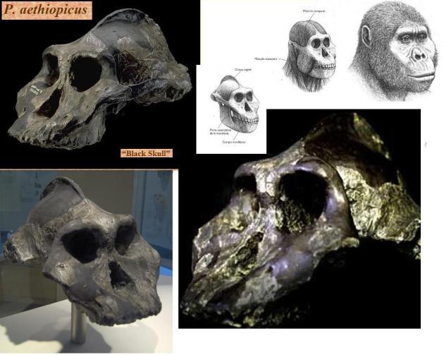 P aethiopicus  black skull