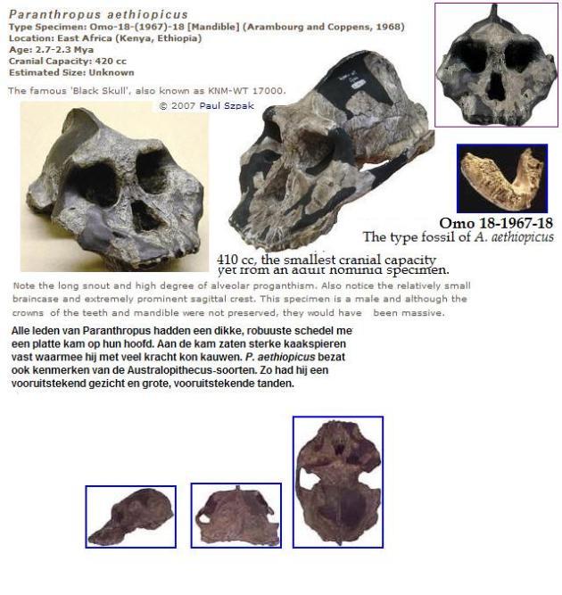 Parantropus-aethiopicus