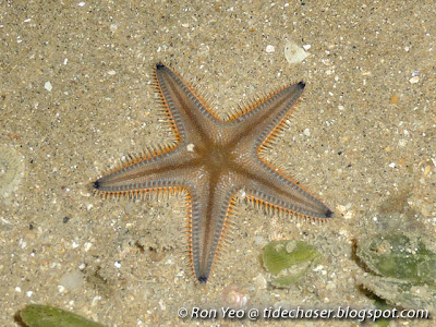Sand star (Astropecten sp.)