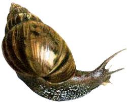 Achatina-fulica