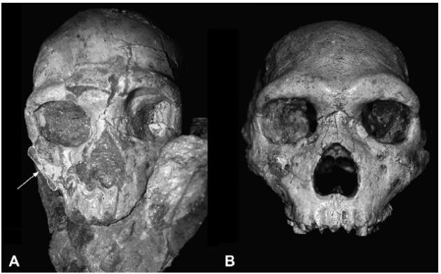 apidima 2 skull  & Petralona skull