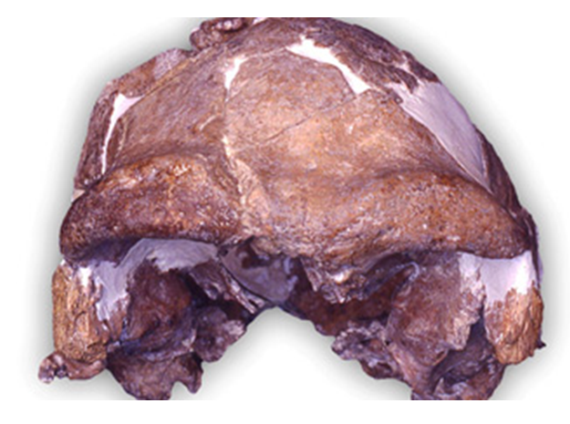 cranium  early human