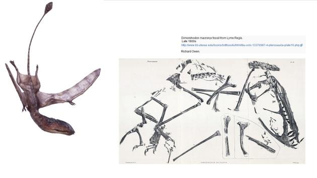 dimorphodon (R Owen )