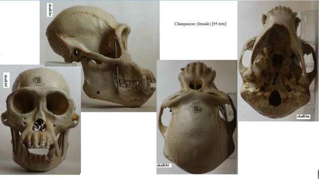 female chimpansee skull