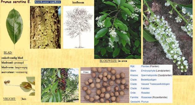 Prunus-serotina