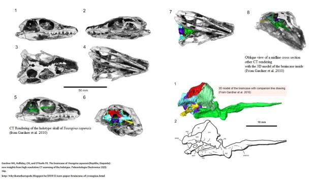 Upoungina capensis Braincase