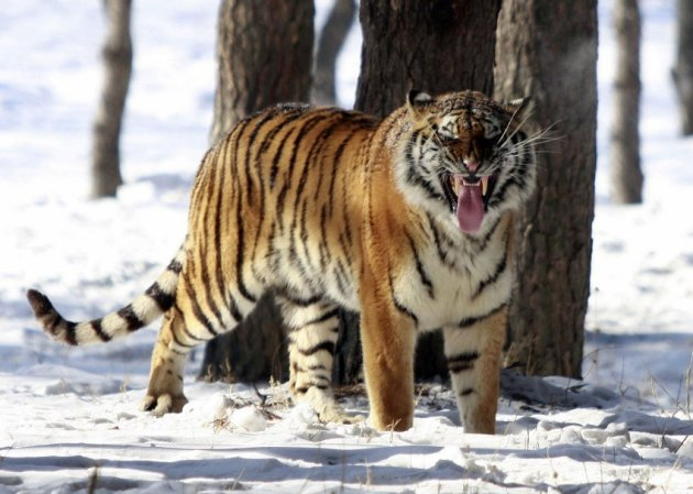 FILES-CHINA-RUSSIA-ANIMAL-TIGER