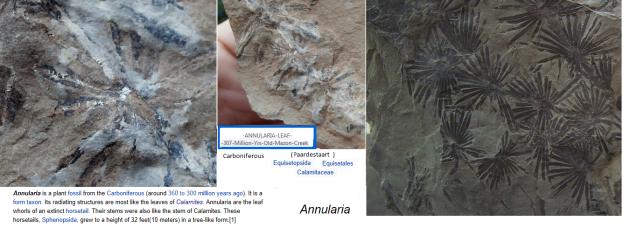annularia