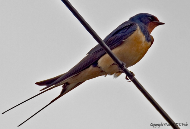 Barn Swallow shot at RSPB Elmsley Marshes nature reserve.