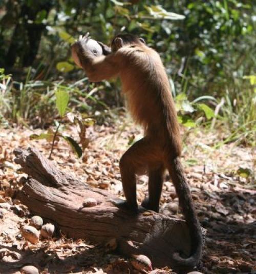 bearded monkey capucin 130227183502-large