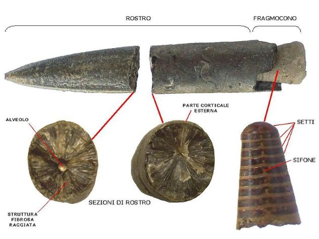 Belemnoidea_fossil_characters