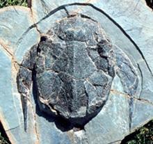 bothriolepis04