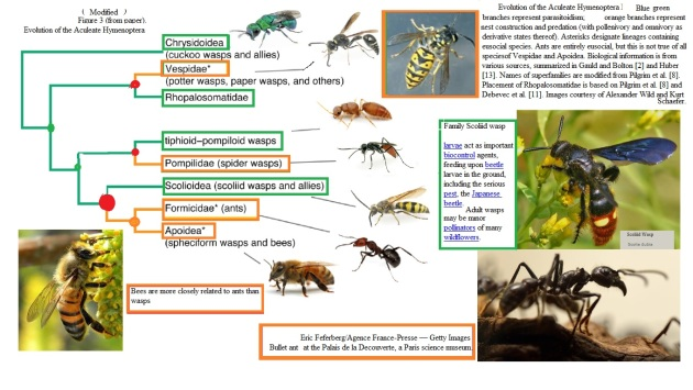 Evolution of the Aculeate Hymenoptera
