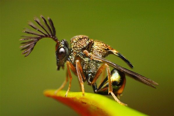 fam .euchartidae ;Stilbuloida 7DFC3A57FDEC73A971D54A934059