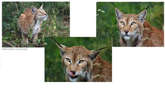 female lynx lynx
