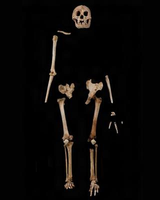 floresiensis  flo  in situ LB1