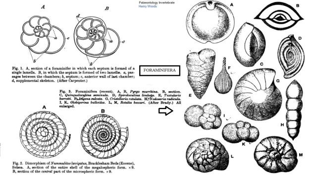 foraminifers