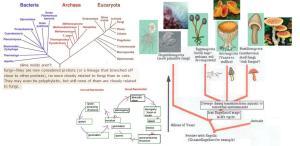 fungi-phylogeny