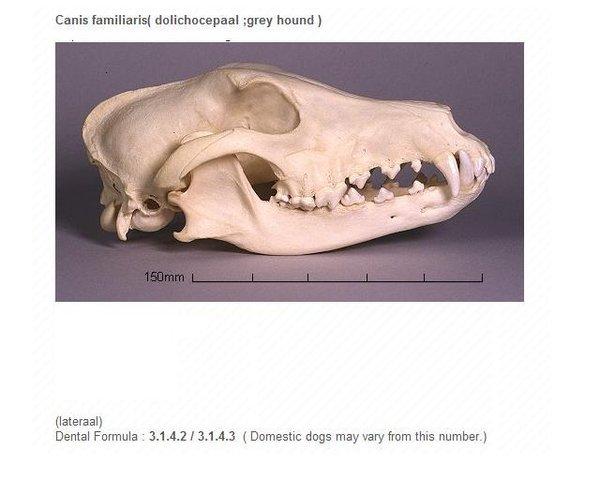 grey-hound