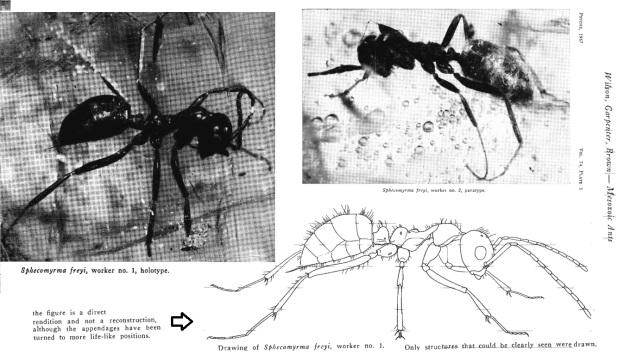 holotype en paratype  Sphecomyrma frey