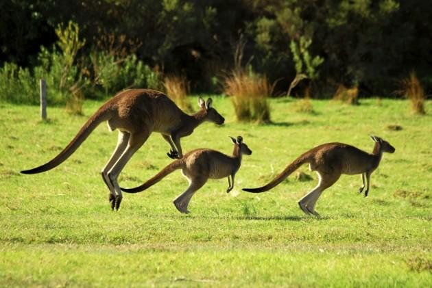 Kangaroos1-1024x685