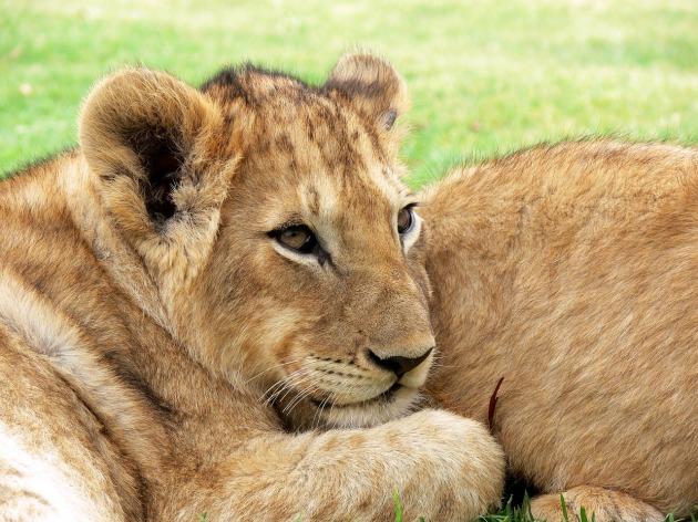 leeuw1