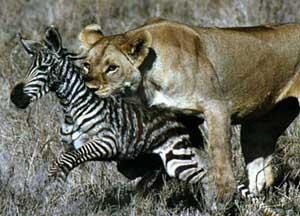 lion-zebra