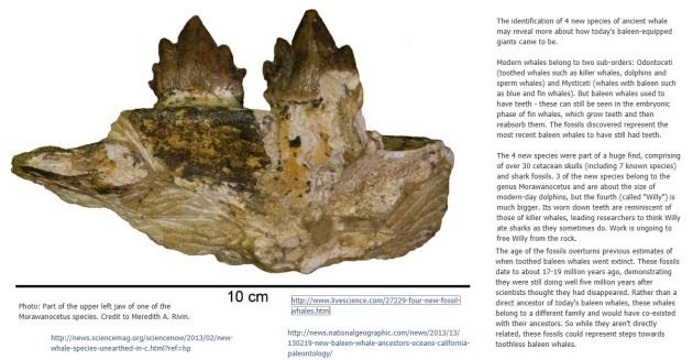 Morawanocetus
