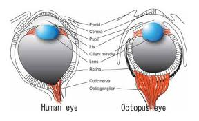 octopus eye structure