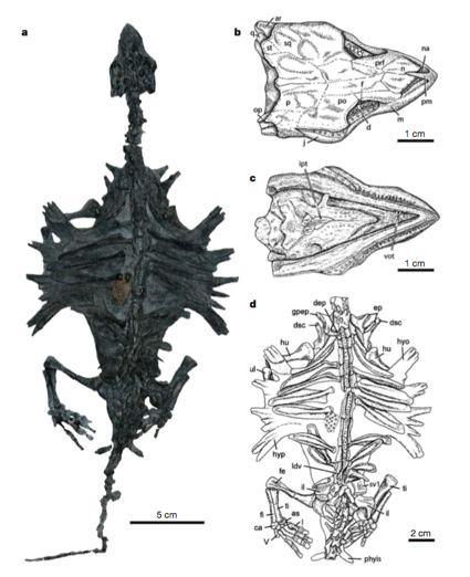 odontochelys-fossil