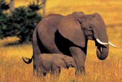 olifant1420jong