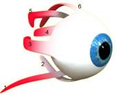 oogspieren2