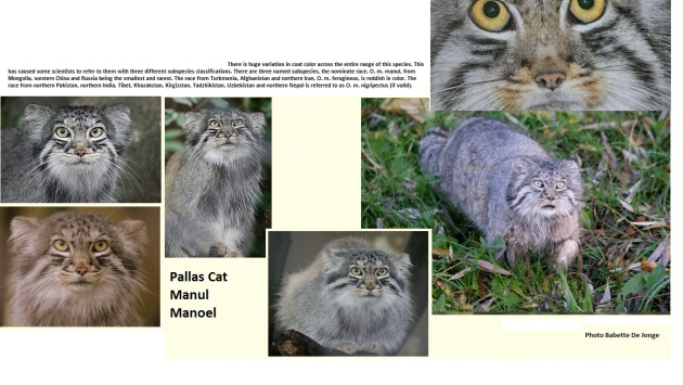 PALLAS  , wildcat magazine